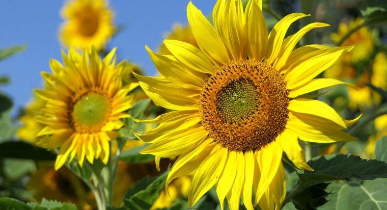 Sunflower oil in soap